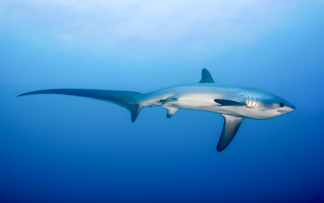 Thresher Shark in Malapascua, Philippines